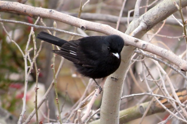 White-winged Black-Tyrant
