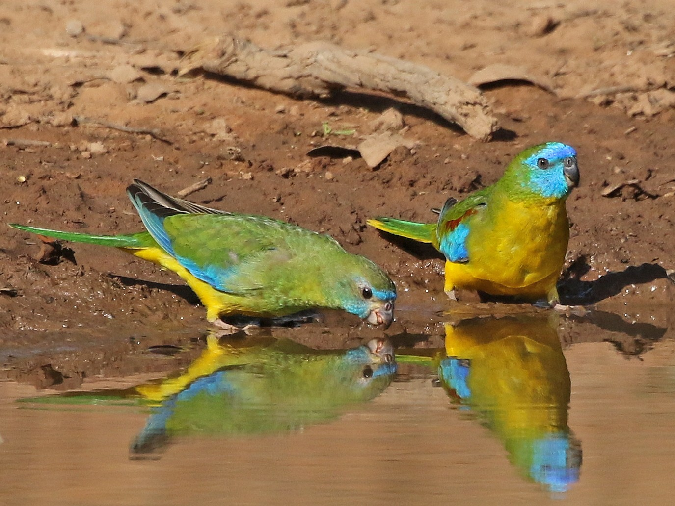 Turquoise Parrot - David Ongley