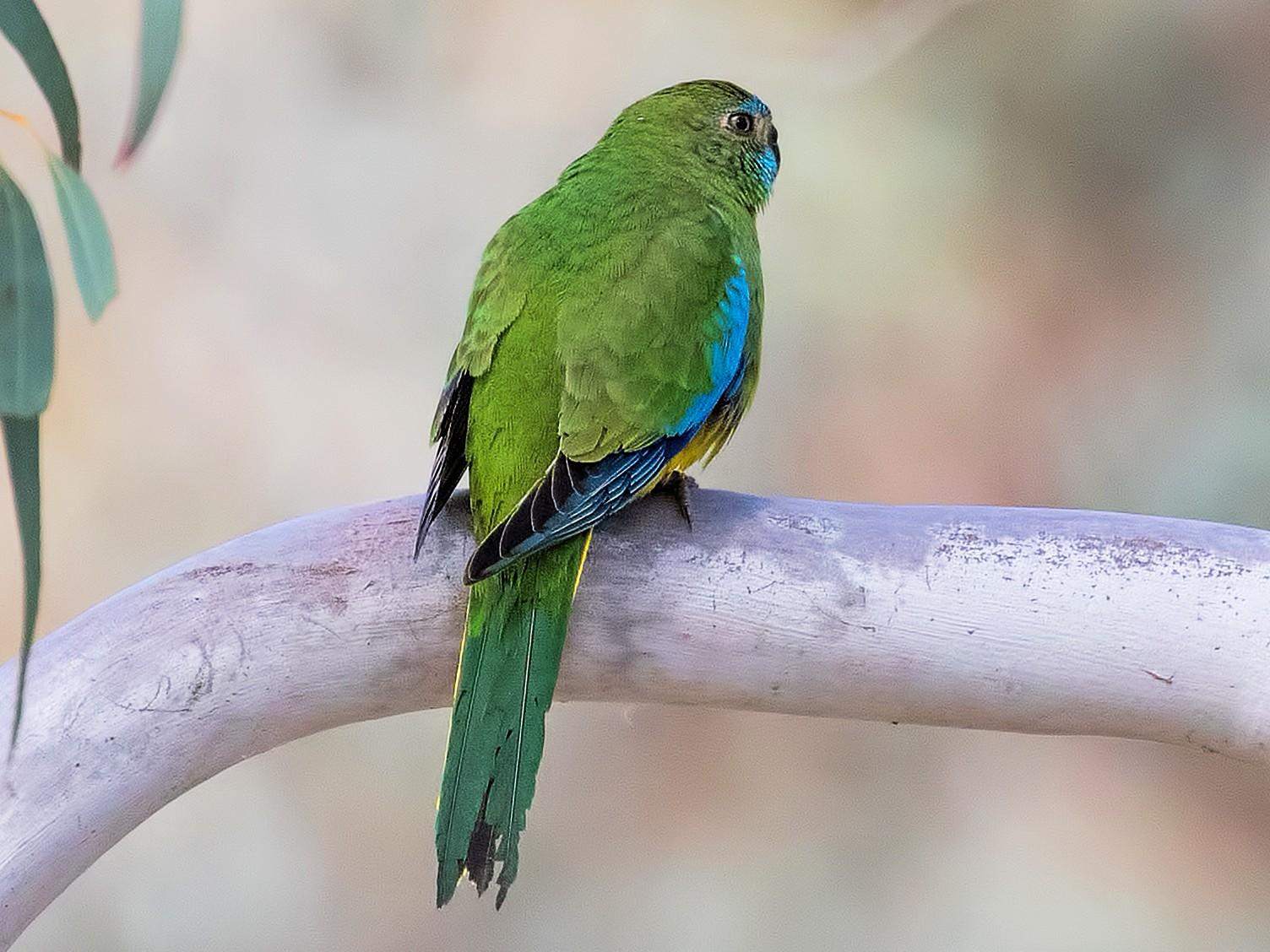 Turquoise Parrot - Julie Clark