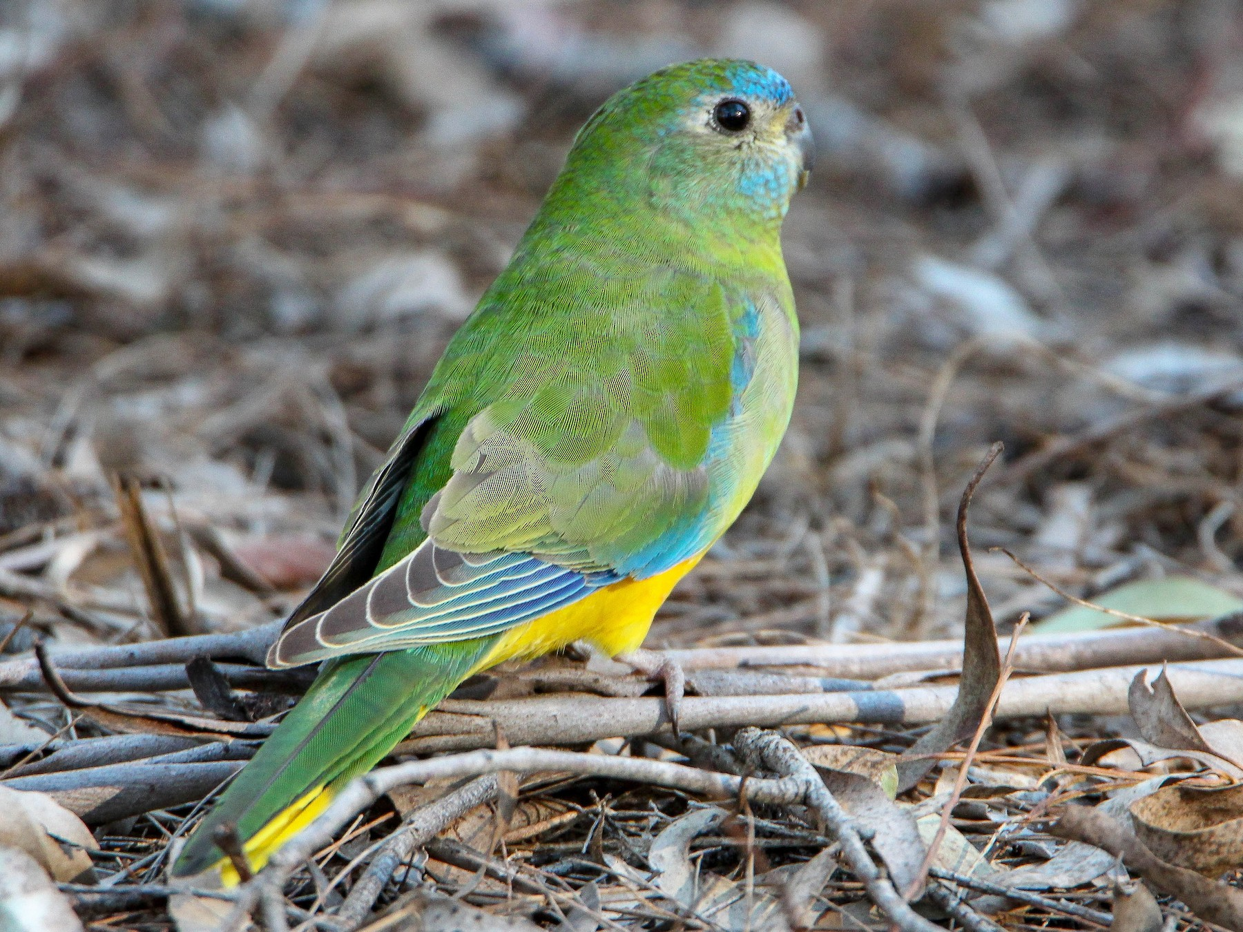 Turquoise Parrot - Sandra Gallienne