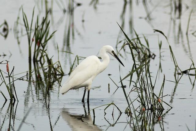 Intermediate Egret (Intermediate)