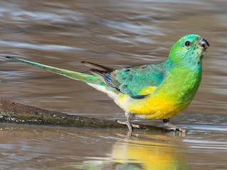 - Red-rumped Parrot