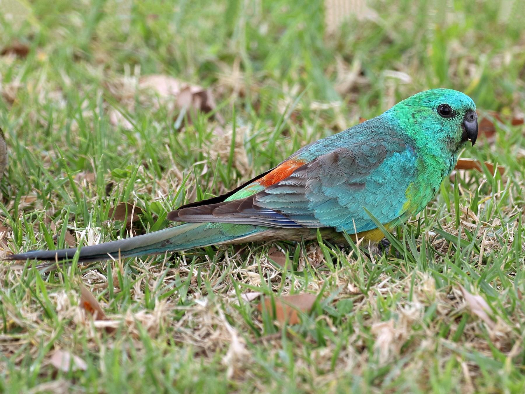 Red-rumped Parrot - Michael Rutkowski
