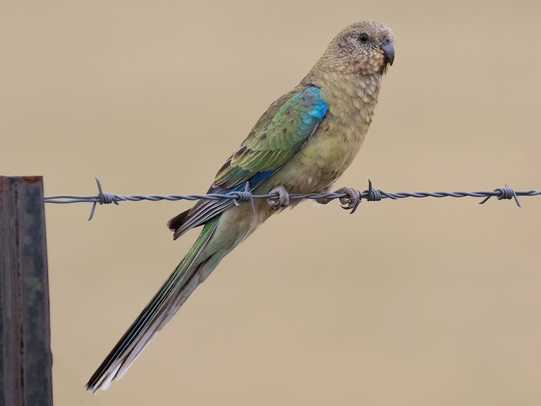 Red-rumped Parrot - Julie Clark