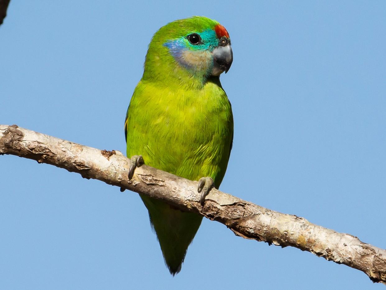 Double-eyed Fig-Parrot - John  Van Doorn