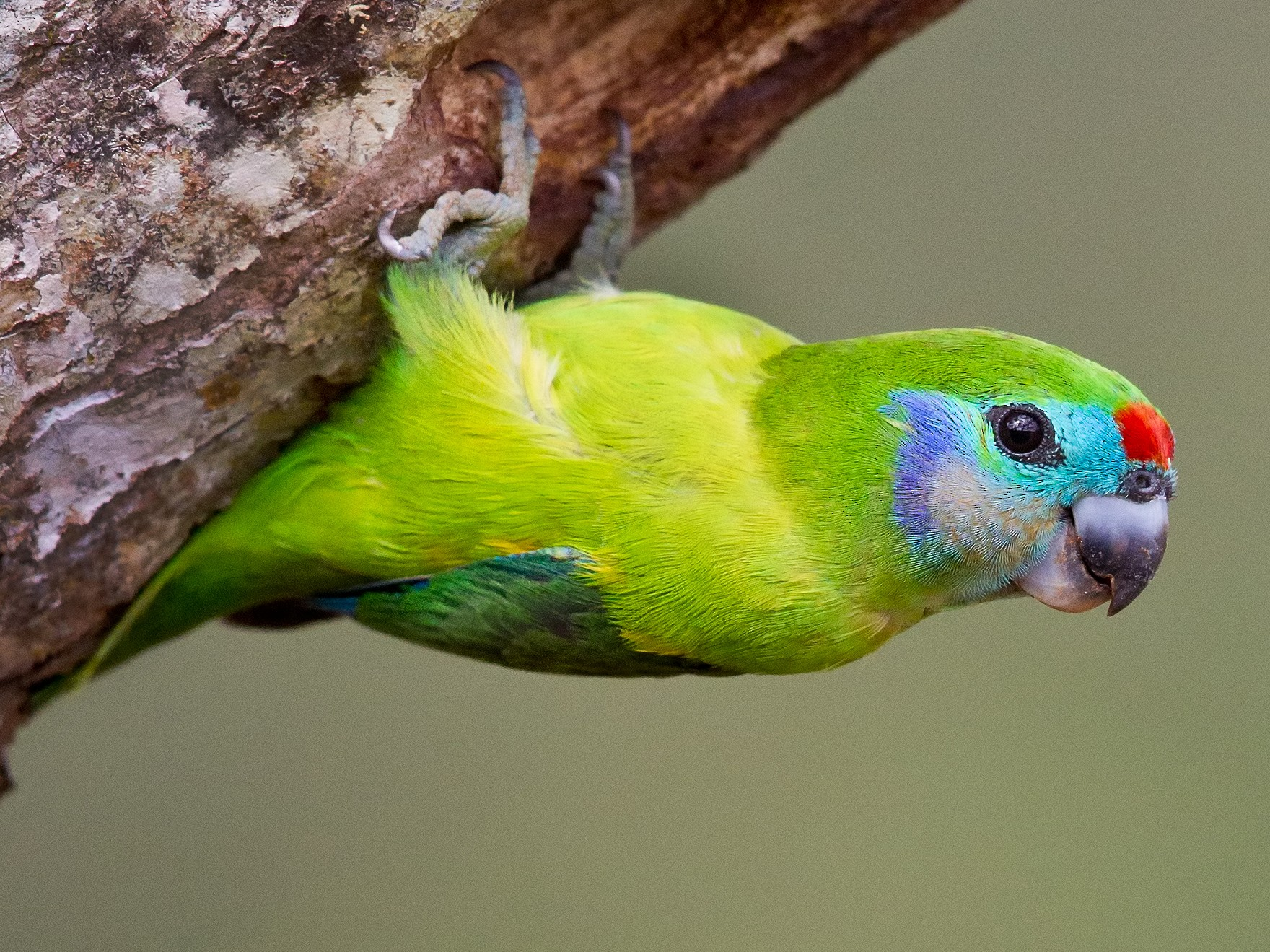 Double-eyed Fig-Parrot - Mat Gilfedder