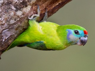 - Double-eyed Fig-Parrot