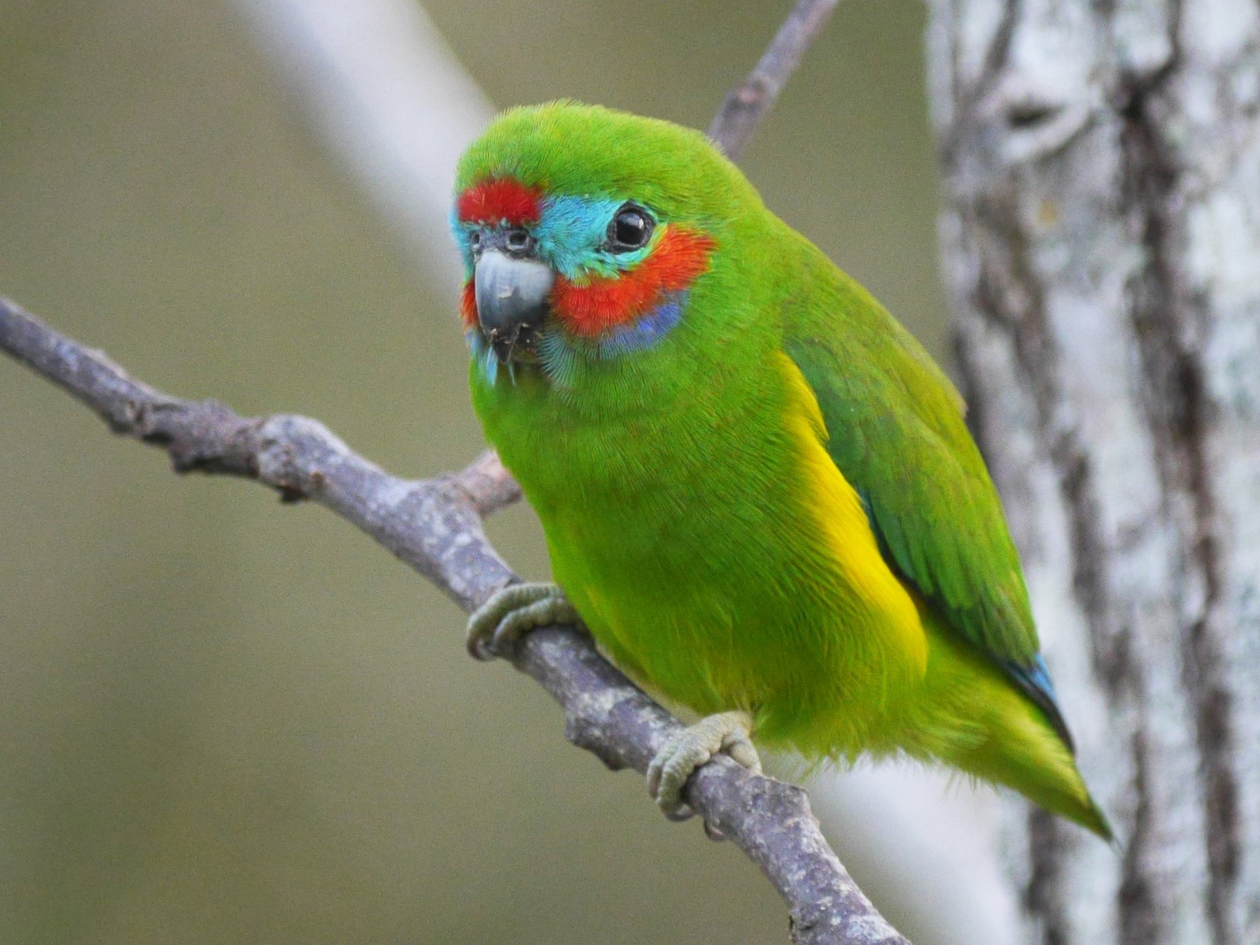 Double-eyed Fig-Parrot - Frank Coman