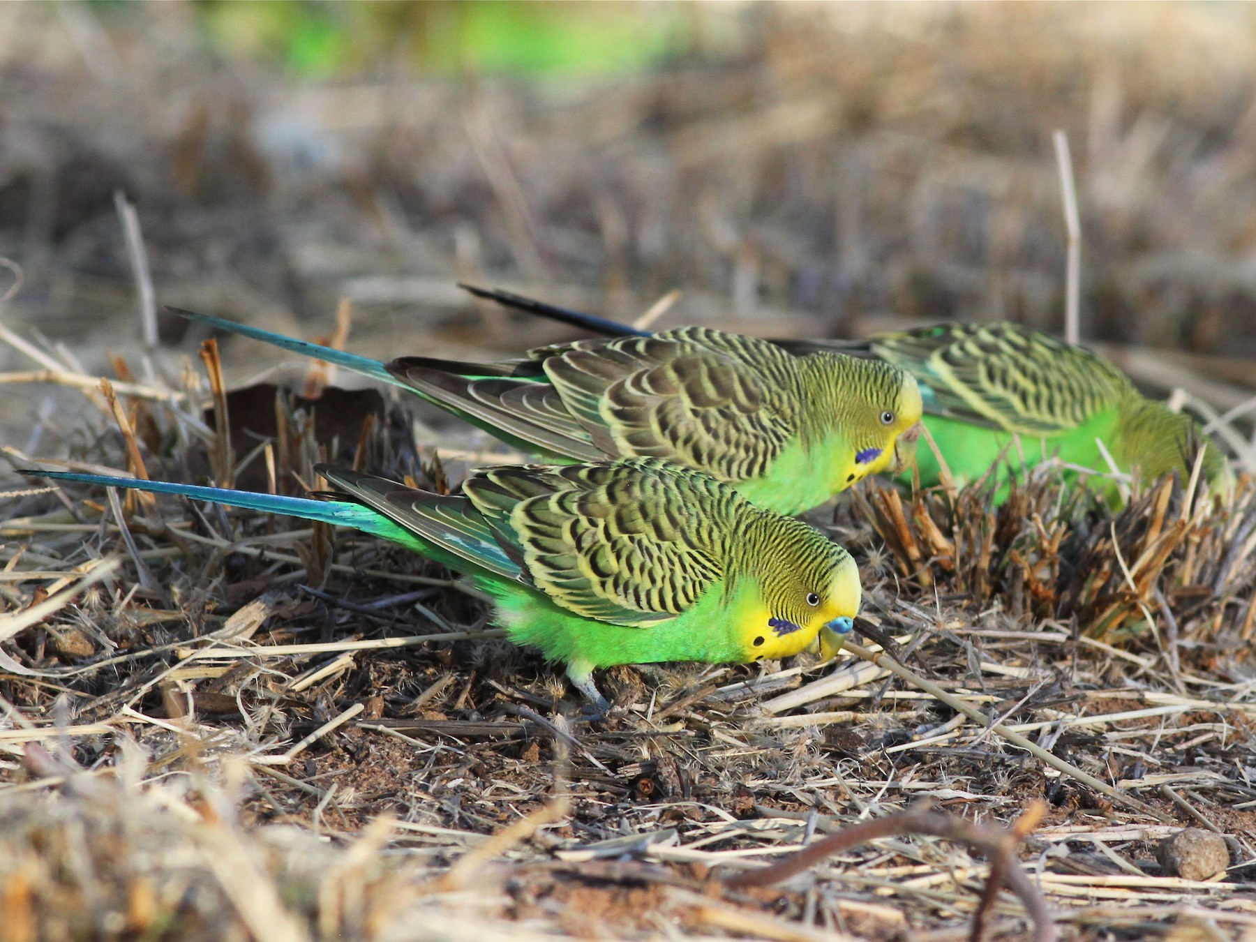 Budgerigar - Chris Wiley