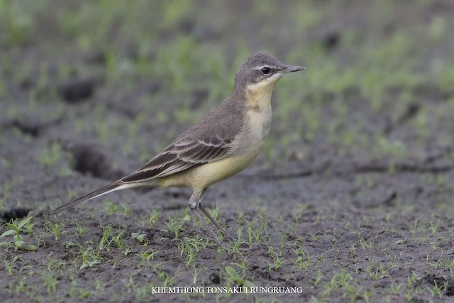 Eastern Yellow Wagtail (Eastern)