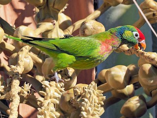 - Varied Lorikeet