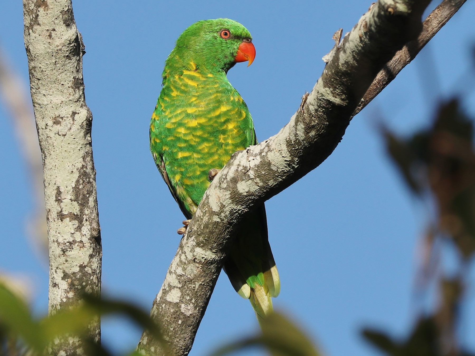 Scaly-breasted Lorikeet - Rick Franks