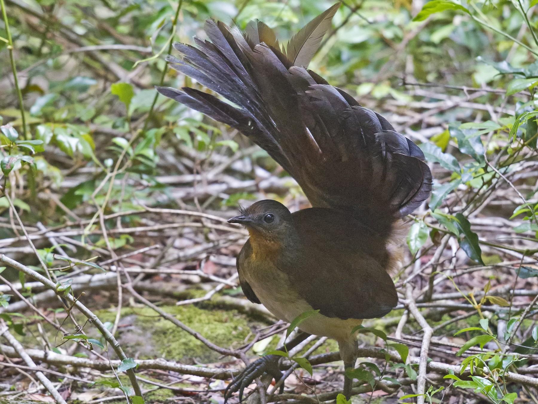 Albert's Lyrebird - Mat Gilfedder