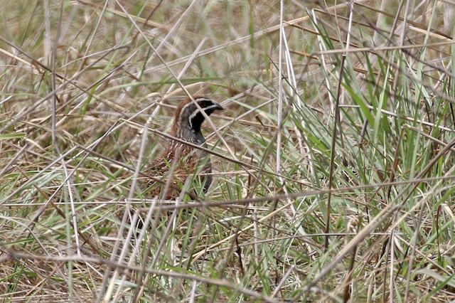 Madagascar Partridge