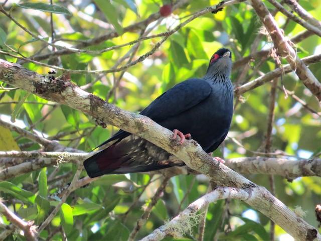 Madagascar Blue-Pigeon