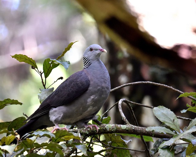 Nilgiri Wood-Pigeon