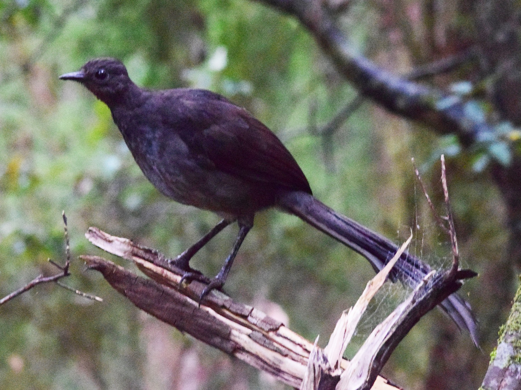 Superb Lyrebird - Adam Fry