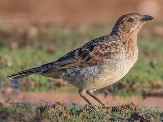 - Spotted Bowerbird