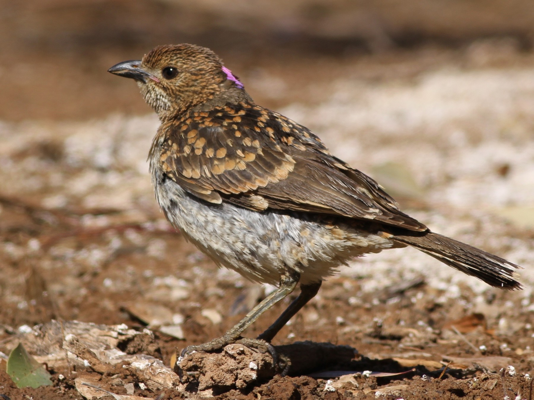 Spotted Bowerbird - Chris Wiley