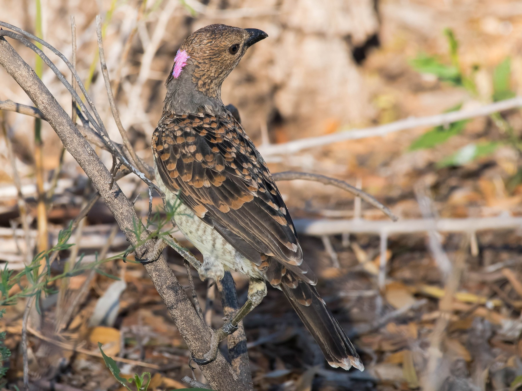 Spotted Bowerbird - Terence Alexander