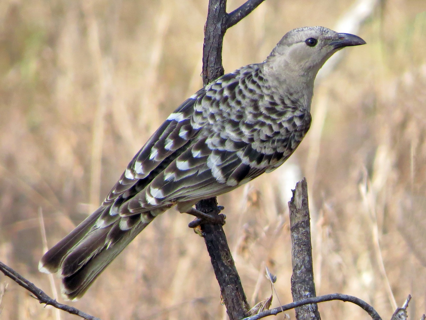 Great Bowerbird - David and Regan Goodyear