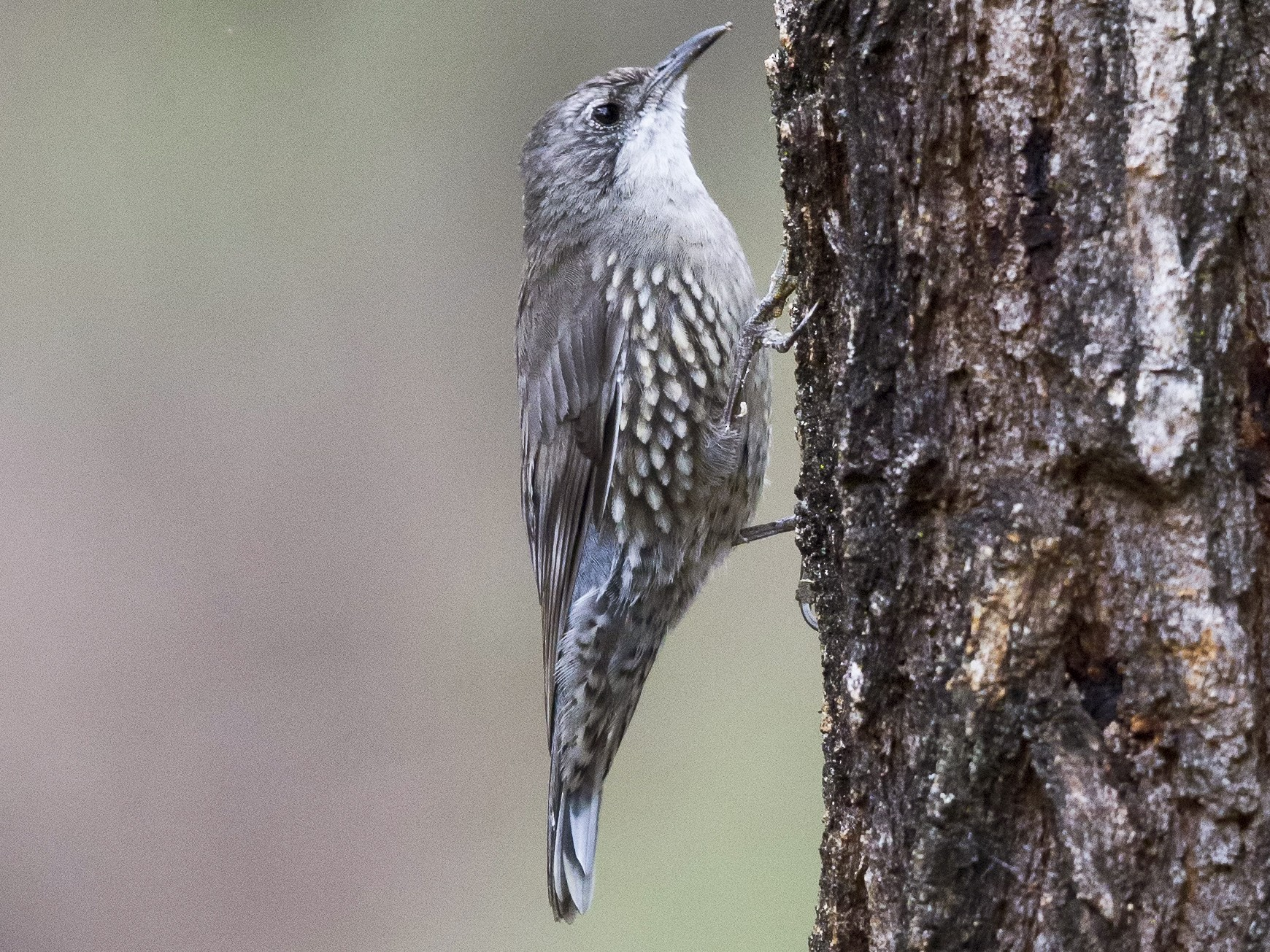 White-throated Treecreeper - Mat Gilfedder