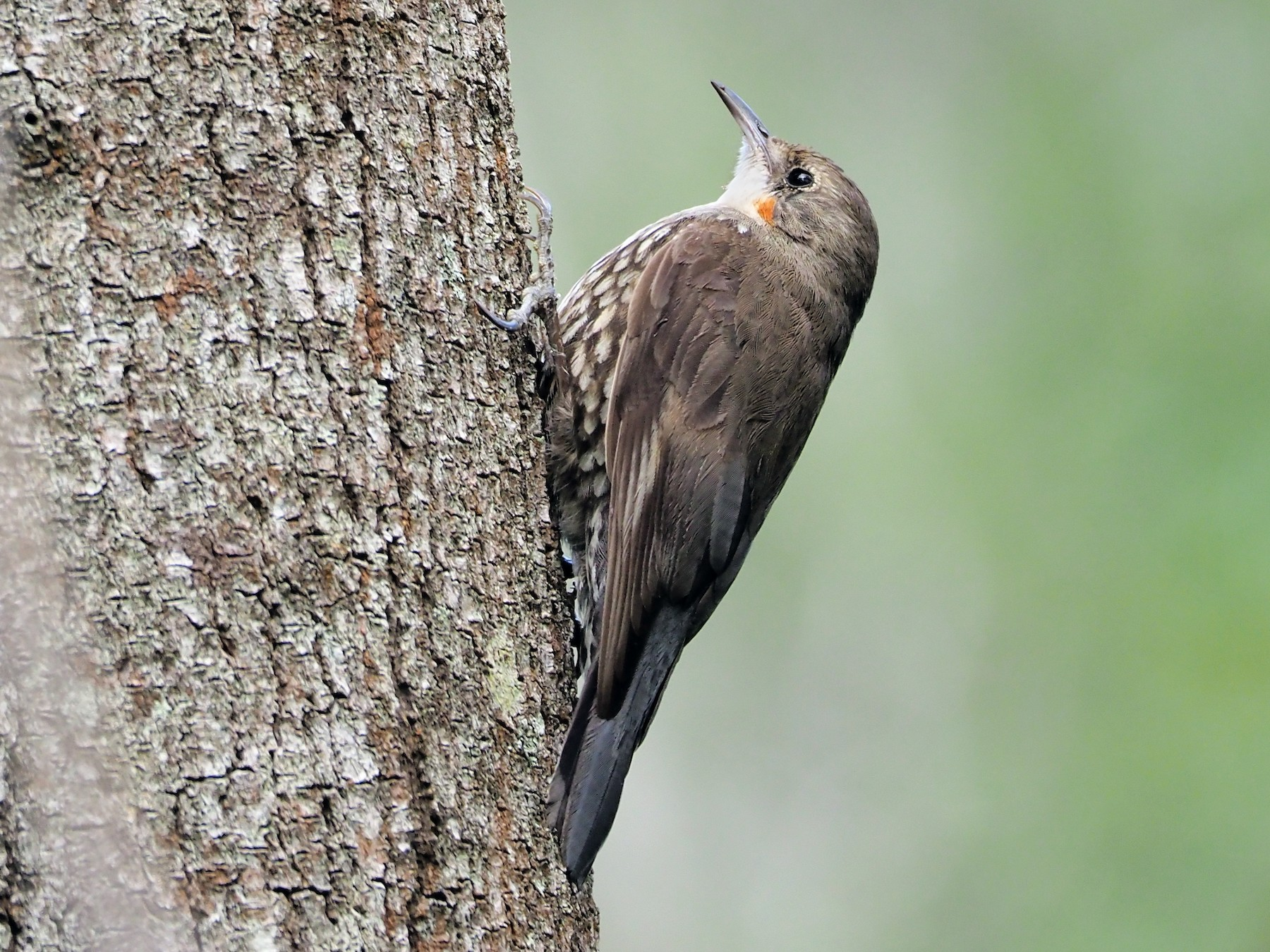 White-throated Treecreeper - Tom Hatfield