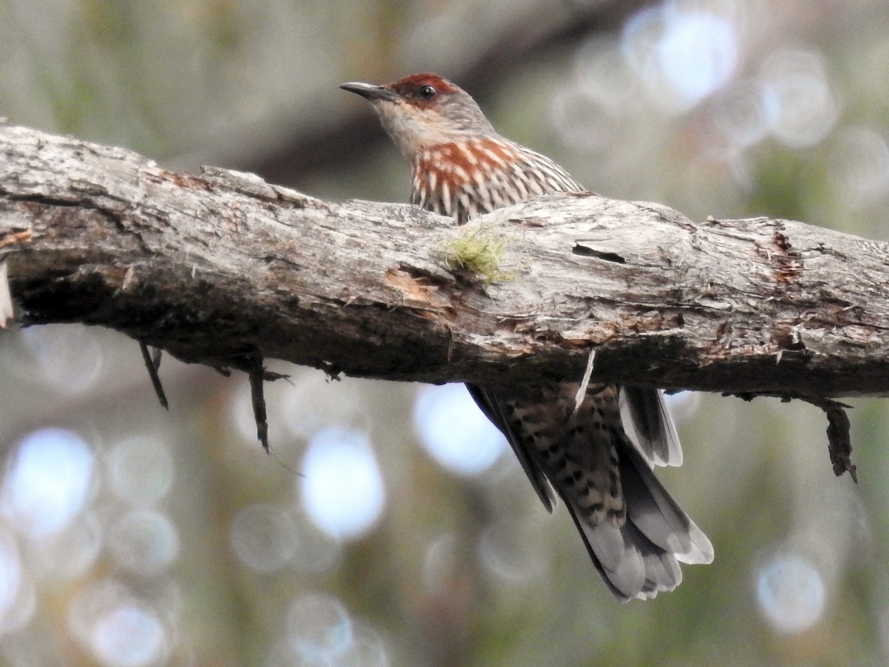 Red-browed Treecreeper - Michael Daley