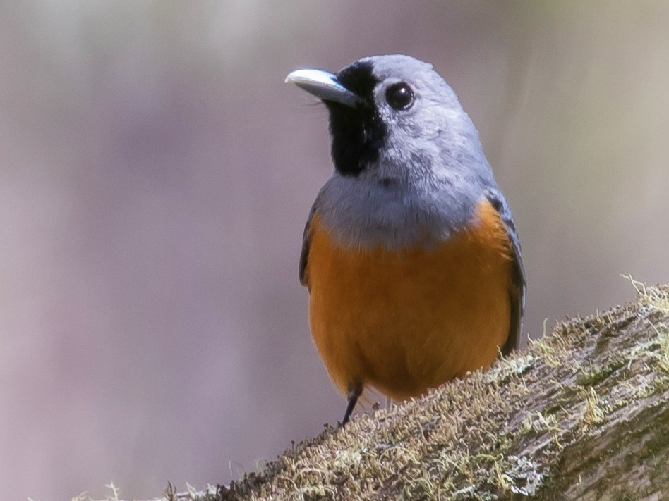 Black-faced Monarch - shorty w