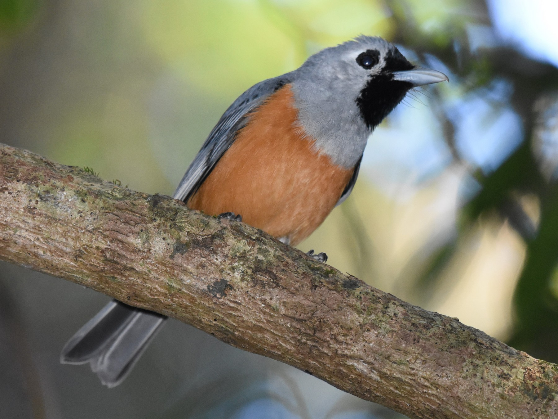 Black-faced Monarch - Tyde Bands