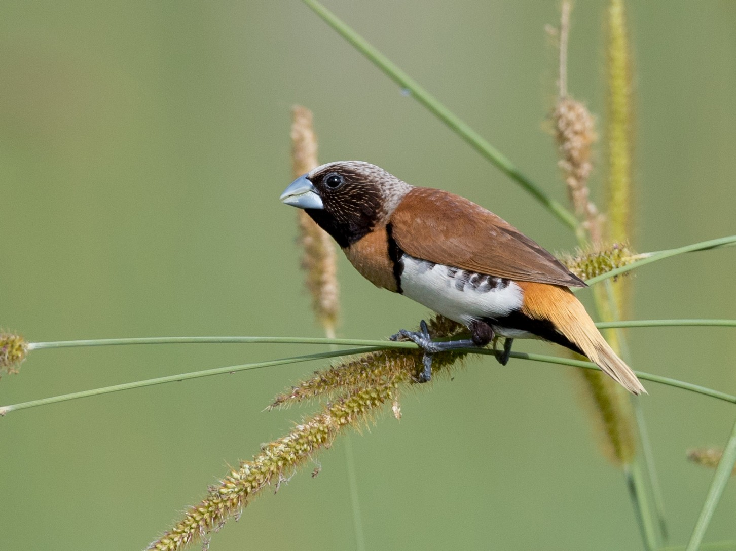 Chestnut-breasted Munia - Ian Davies