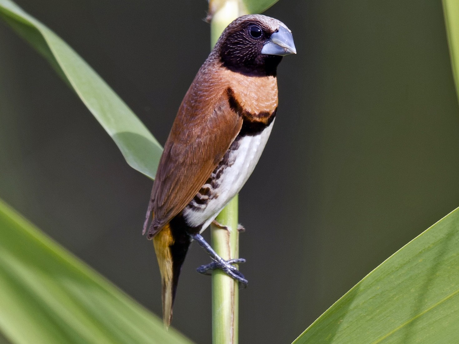 Chestnut-breasted Munia - Mat Gilfedder
