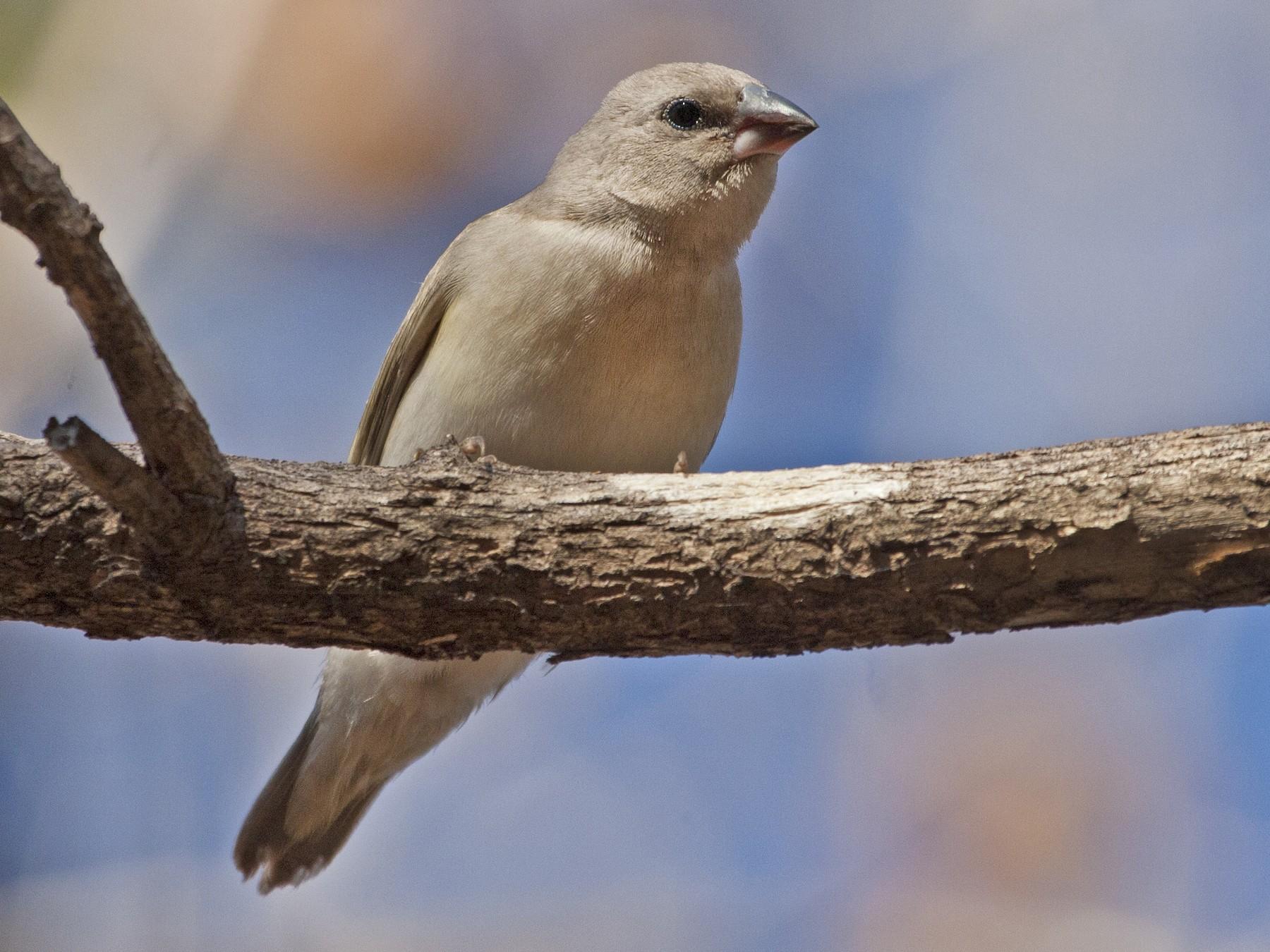 Gouldian Finch - Mat Gilfedder