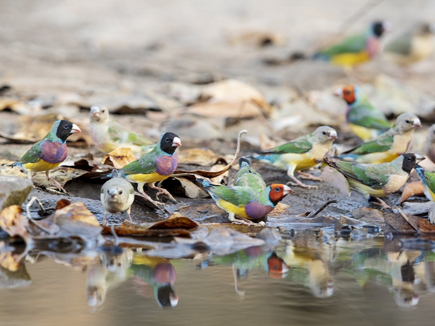 Gouldian Finch - Laurie Ross | Tracks Birding & Photography Tours