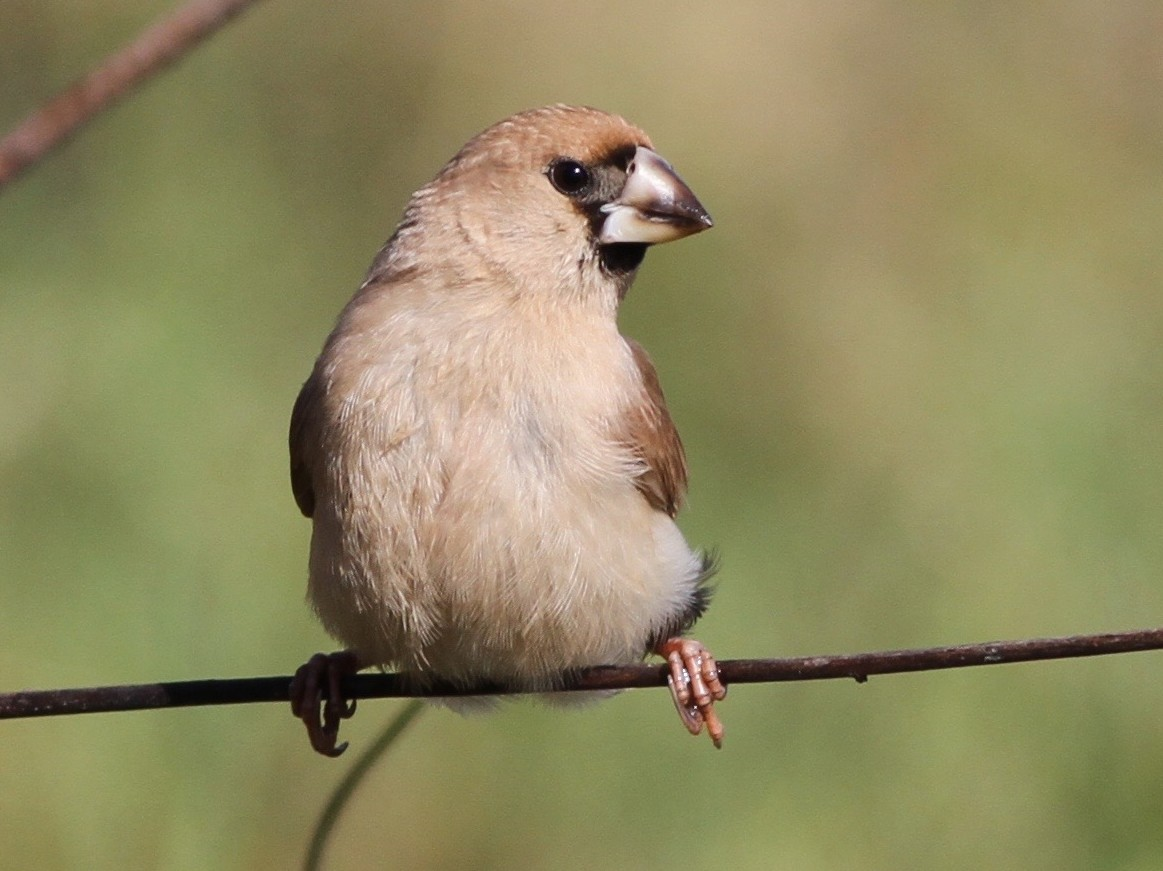 Masked Finch - Chris Wiley