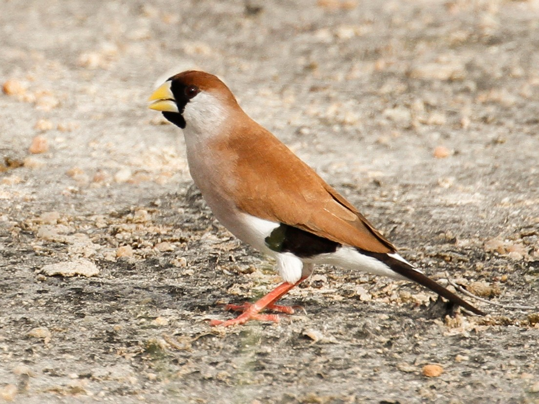 Masked Finch - James Kennerley 🦄