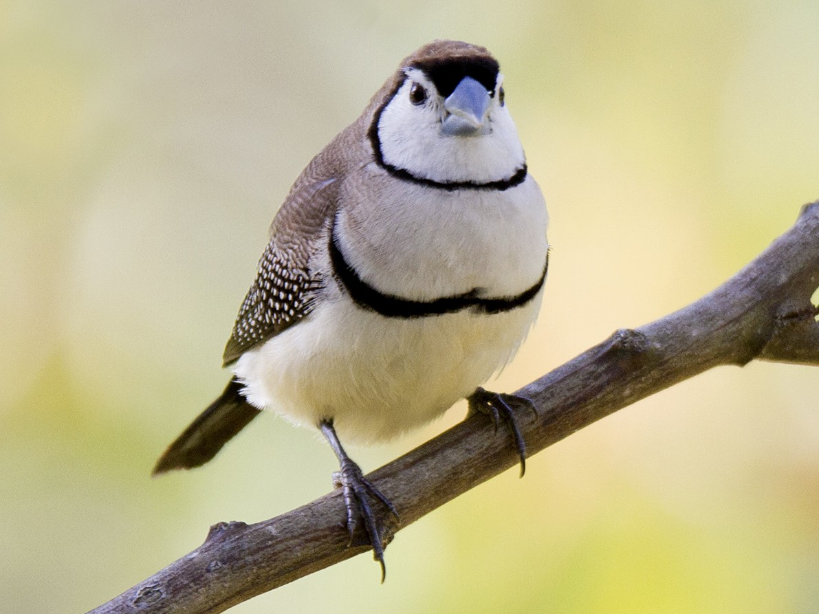 Double-barred Finch - Stephen Murray