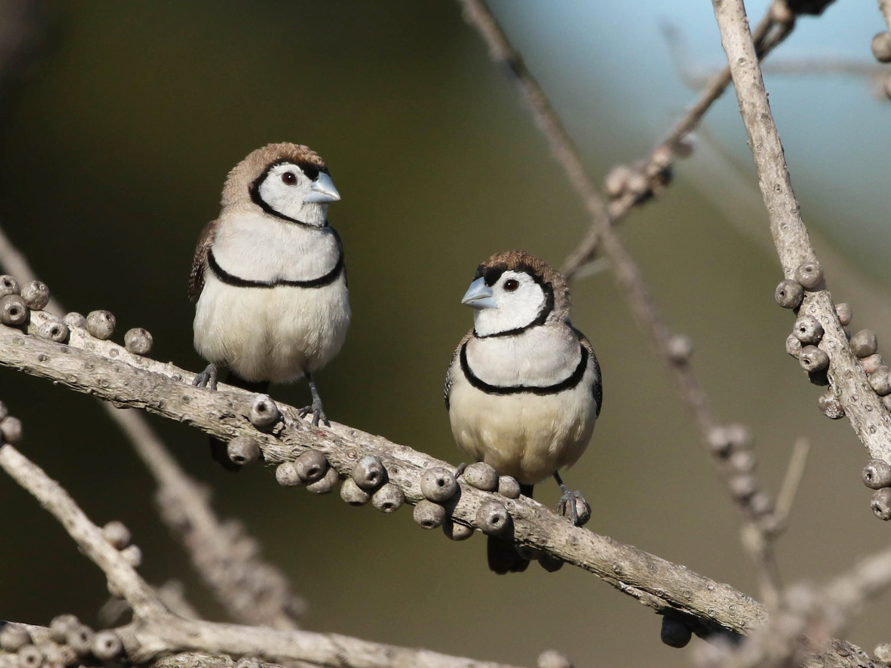 Double-barred Finch - David Ongley