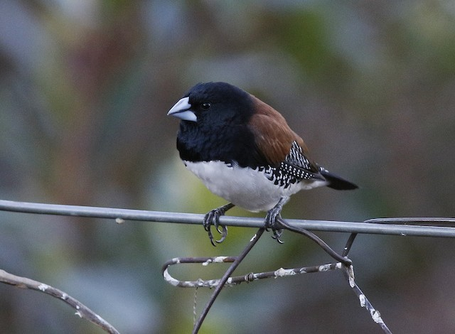 Black-and-white Mannikin (Red-backed)