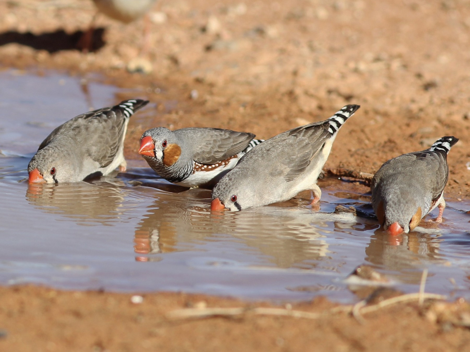 Zebra Finch - Richard and Margaret Alcorn