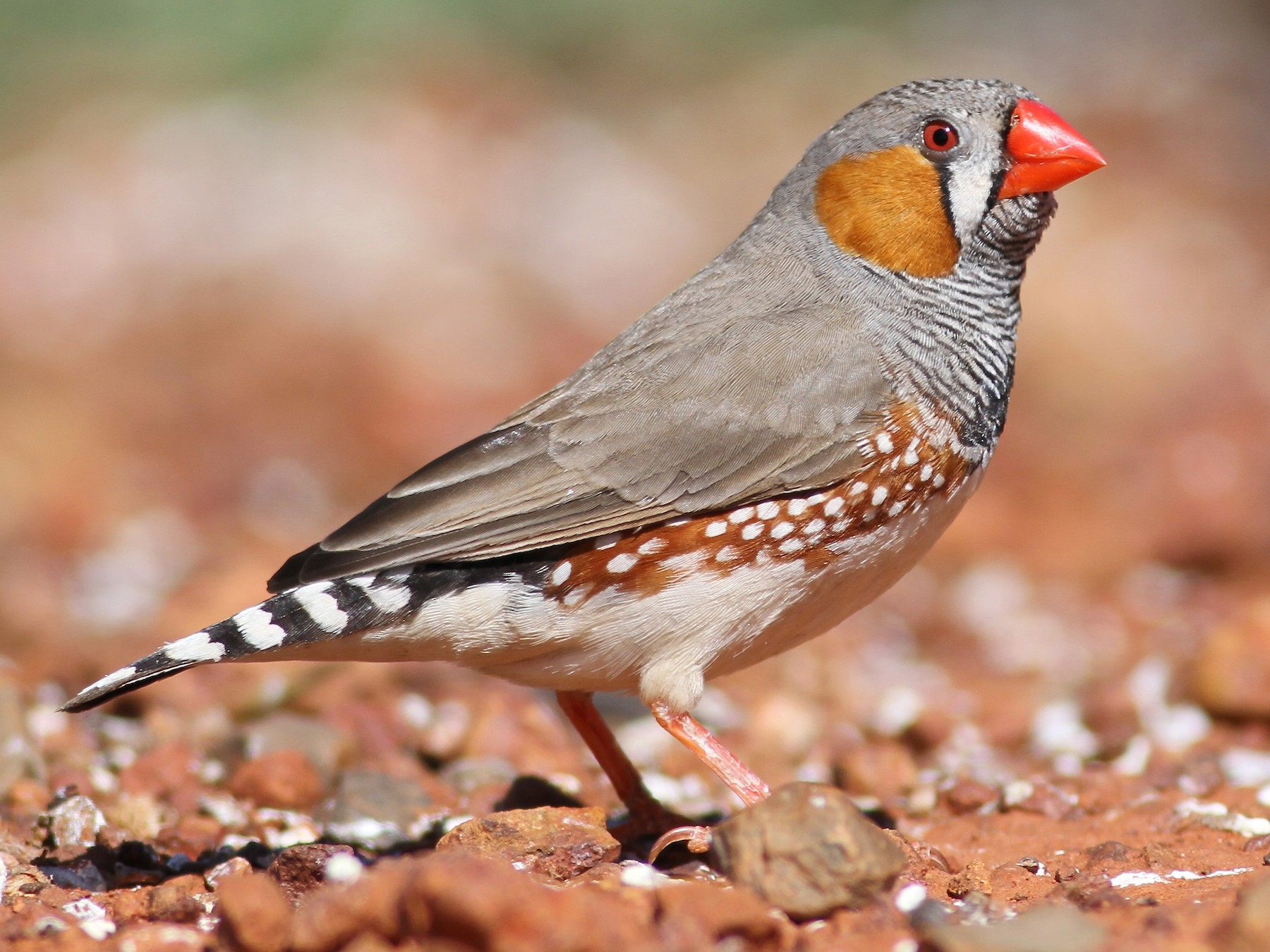 Zebra Finch - Chris Wiley