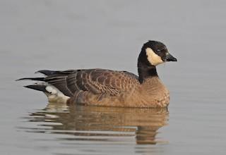 Cackling Goose, ML123958721