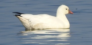 Ross's Goose, ML124070911