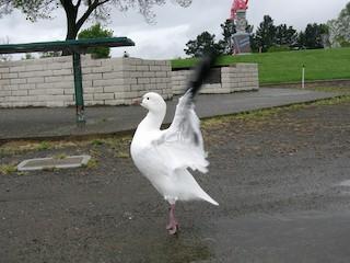 Ross's Goose, ML124309331