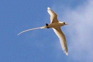 White-tailed Tropicbird (Golden)