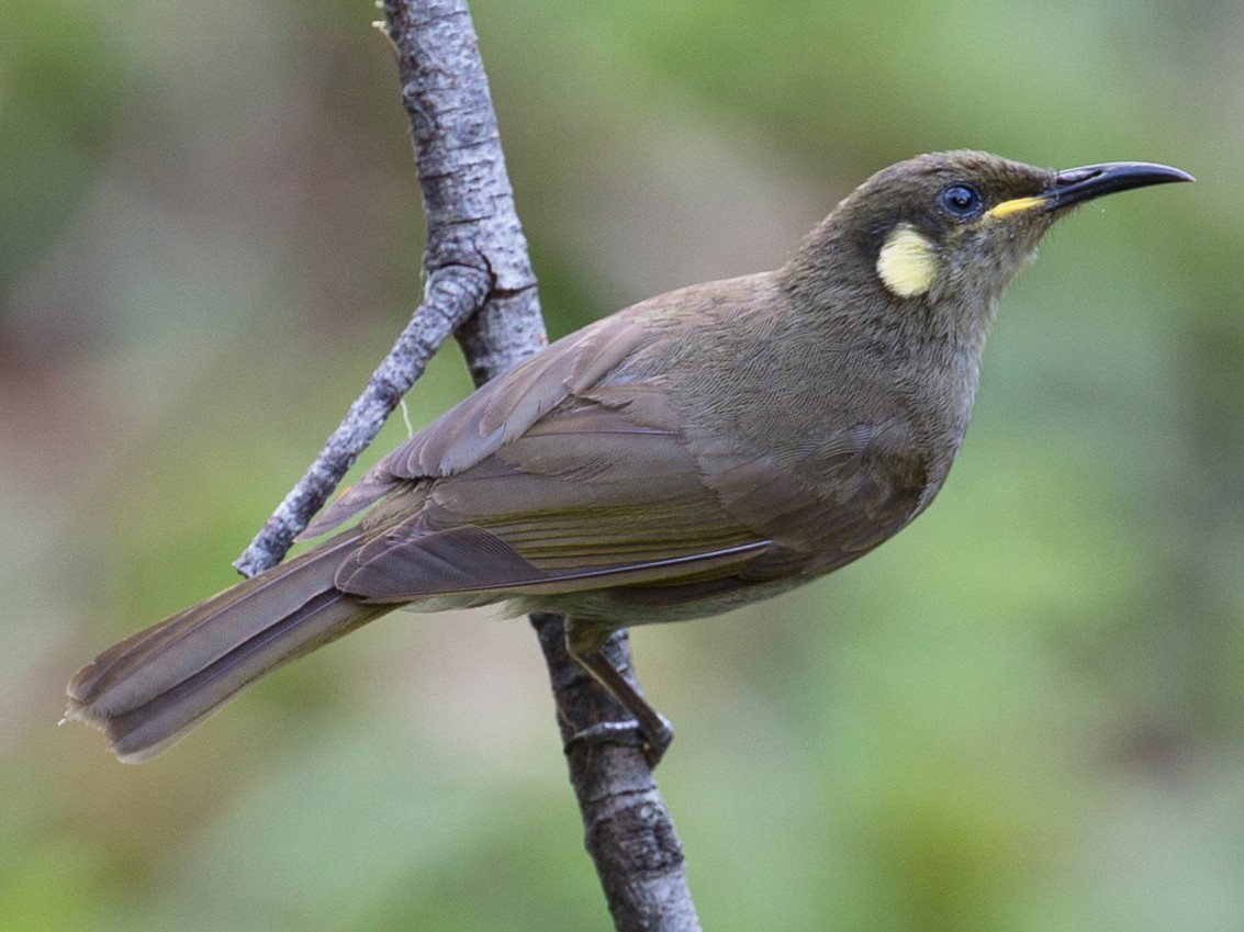 Yellow-spotted Honeyeater - Geoff Dennis