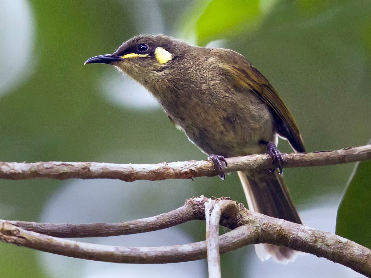 Yellow-spotted Honeyeater - Mat Gilfedder