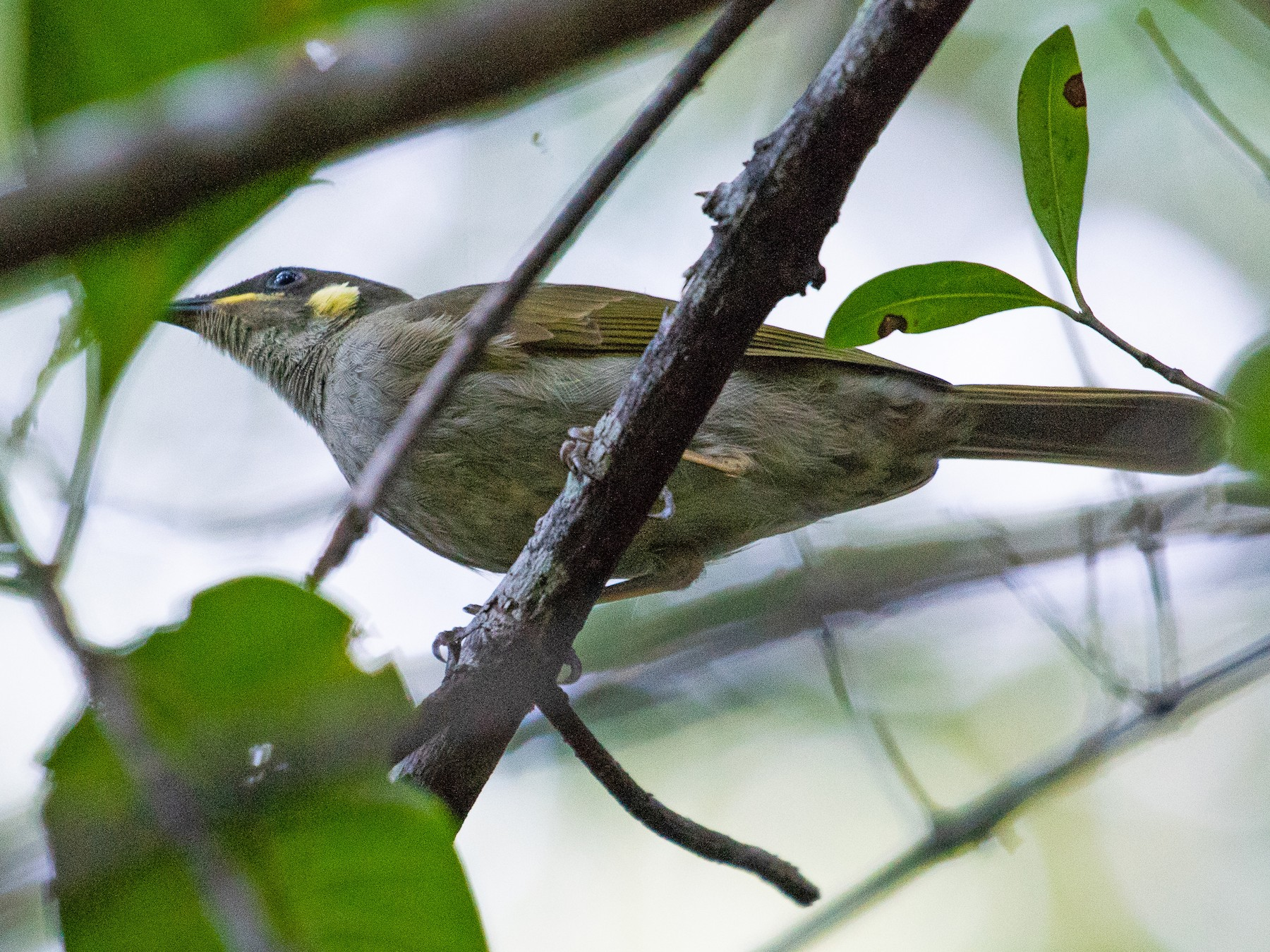 Yellow-spotted Honeyeater - Adam Jackson