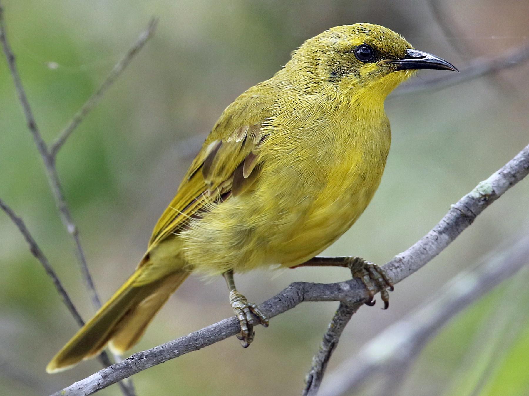 Yellow Honeyeater - Luke Seitz