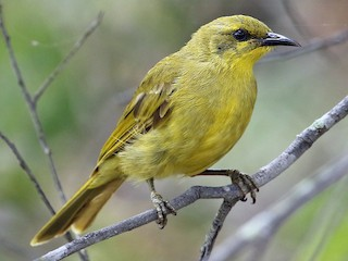 - Yellow Honeyeater